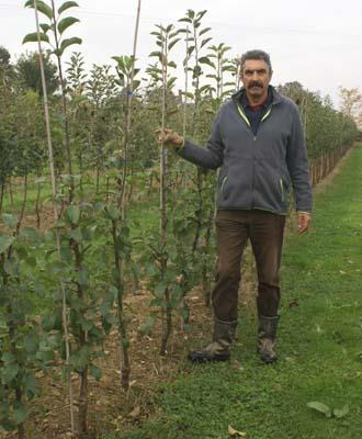 Cordon Trained Fruit Trees For Sale