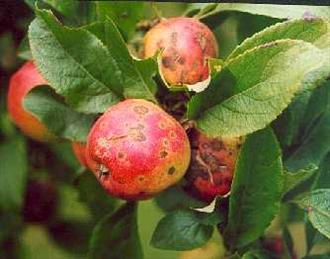 Apple Scab - Sypmtoms on Gala apples