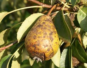 Pear Scab - Symptoms on fruit
