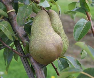 Pear - Abbe Fetel