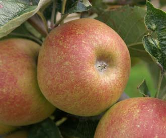 Apple - Acklam Russet