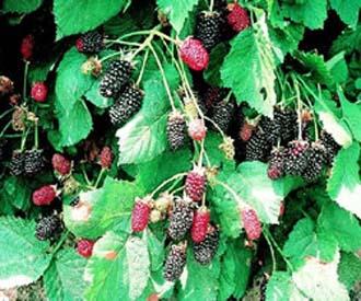 Blackberry - Adrienne