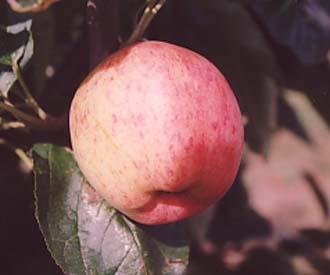 Apple - Akero