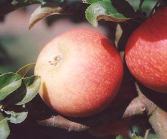 Apple - Alkmene