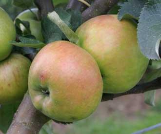 Apple - Annie Elizabeth