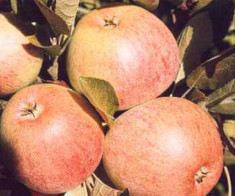 Apple - Allington Pippin