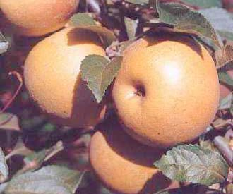 Apple - Aromatic Russet