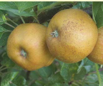 Apple - Ashmead's Kernel