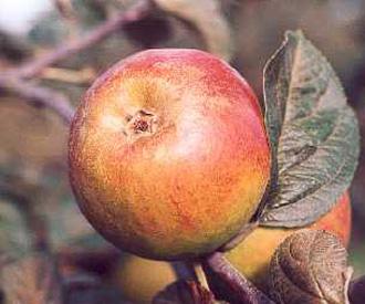 Apple - Blenheim Orange
