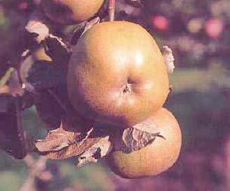 Apple - Canadian Reinette