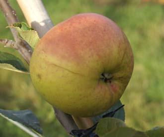 Apple - Catherine