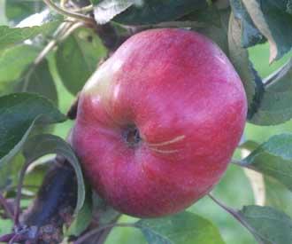 Apple - Charlotte
