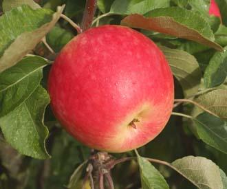 Apple - Cleeve