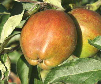 Apple - Cornish Gilliflower
