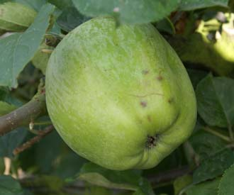 Apple - Costard