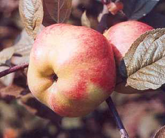 Apple - Cox's Pomona
