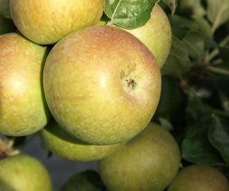 Apple - Crawley Beauty