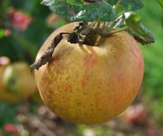 Apple - Crawley Reinette