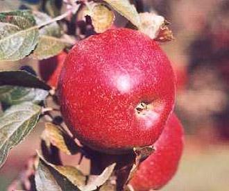 Apple - Dawn