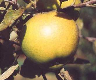 Apple - Diamond Jubilee