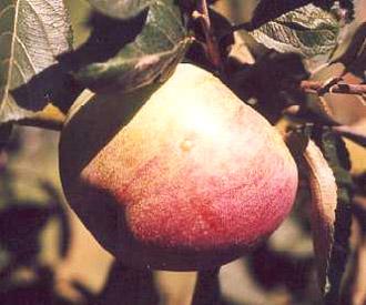 Apple - Dredge's Fame