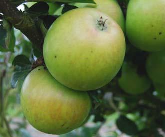 Apple - Edward VII