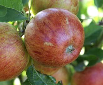 Apple - Ellison's Orange