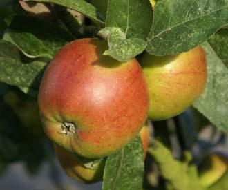 Apple - Feuille Morte