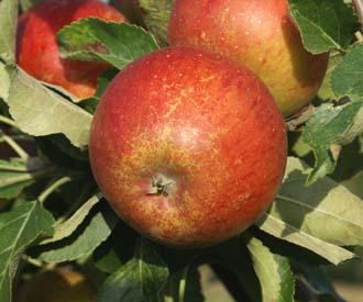 Apple - Flanders Cox