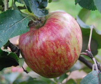 Apple - Flower of Kent