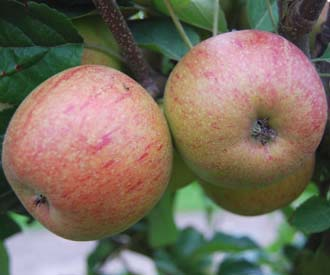 Apple - Forfar