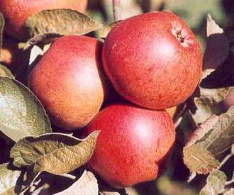 Apple - Foster's Seedling
