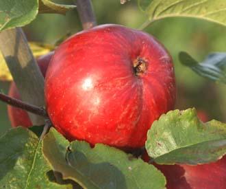 Apple - Foxwhelp