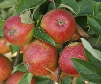 Apple - Francis
