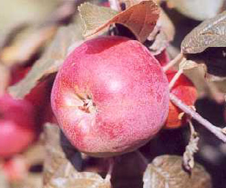 Apple - Gascoyne's Scarlet