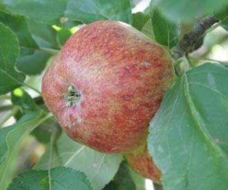 Apple - Gladstone