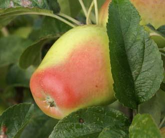 Apple - Glockenapfel