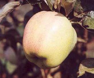 Apple - Gloria Mundi