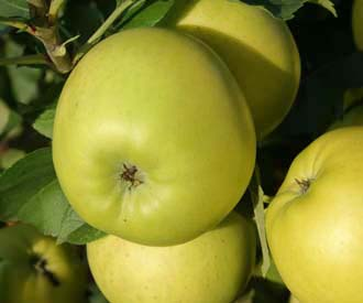 Apple - Golden Noble