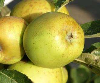 Apple Golden Pippin
