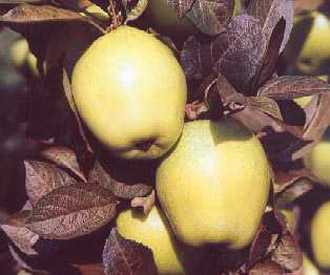 Apple - Golden Spire