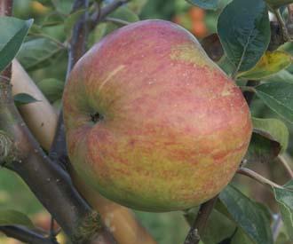 Apple - Hambledon Deux Ans
