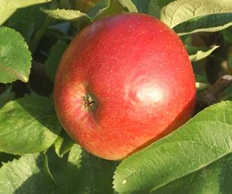 Apple - Harbert's Reinette
