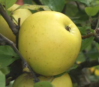 Apple - Harvey