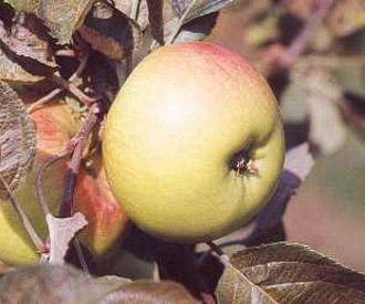 Apple - Hawthornden