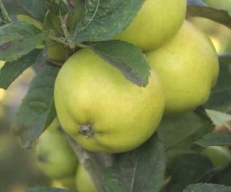 Apple - Histon Favourite
