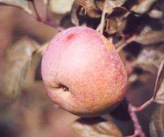 Apple - Hoary Morning