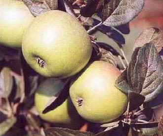 Apple - Hormead Pearmain