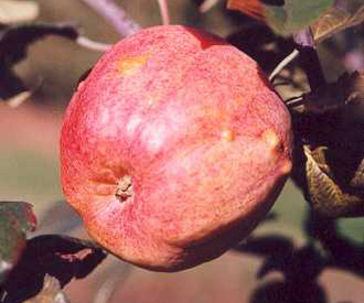 Apple - Horsford Prolific