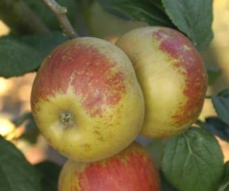 Apple - Horsham Russet